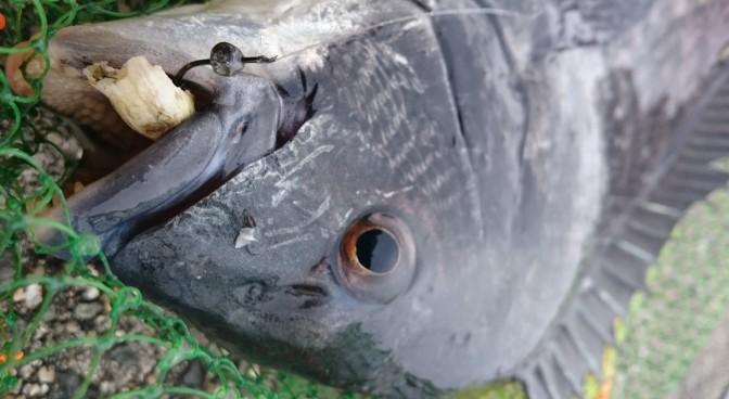 フジツボを咥えた黒鯛
