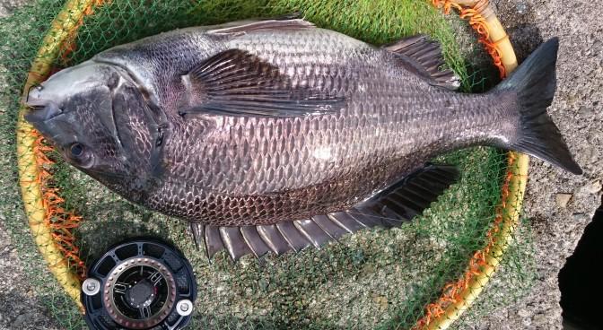 46.7cmの黒鯛