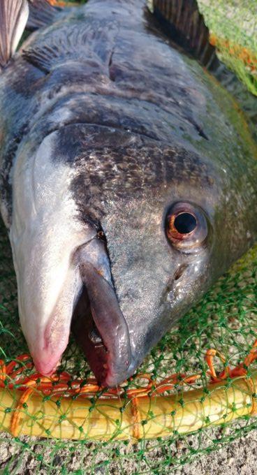 54.8cmの年無し黒鯛