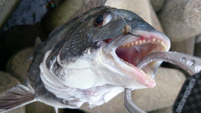 黒鯛 チヌ