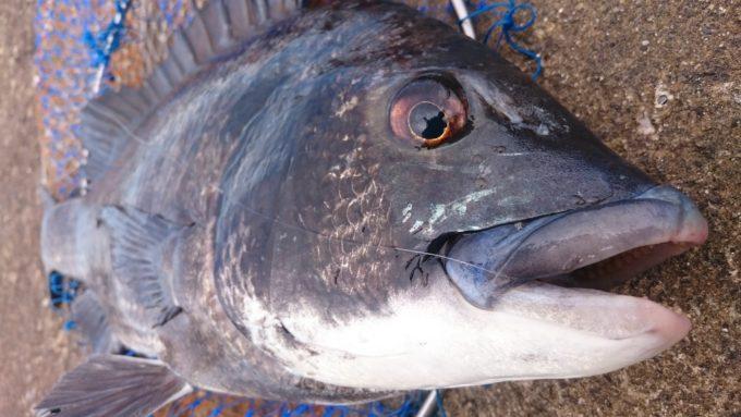神戸第七防波堤 七防の黒鯛