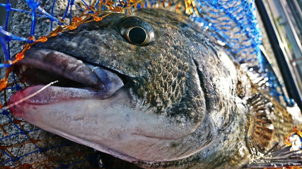 45cmの黒鯛(チヌ)