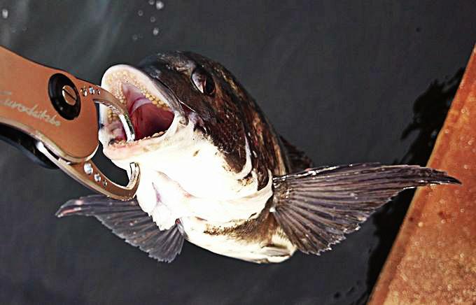 黒鯛の口の中