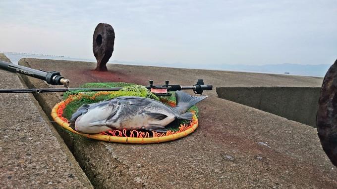 北港スリットで掛けた超メタボ黒鯛