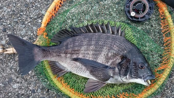フジツボで釣った黒鯛