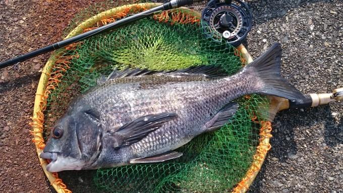 45cmの黒鯛