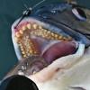 【西宮】ボラ絨毯の下から52cmの年無し黒鯛をGET!!!