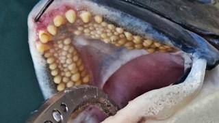 年無し黒鯛の歯並び