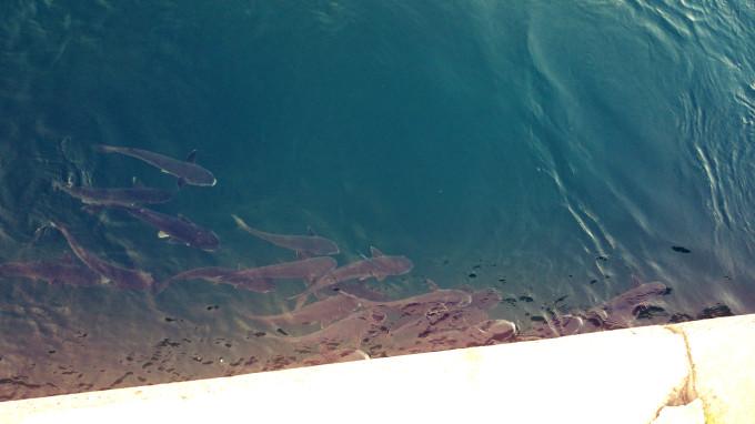 甲子園浜ベランダ面噴き出し付近のボラ