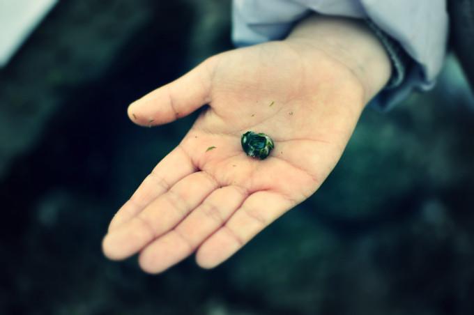 ゴロタで採取したフジツボ