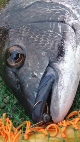タモ枠チョイ超えサイズの黒鯛
