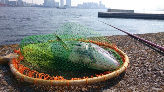 49.8cmの黒鯛