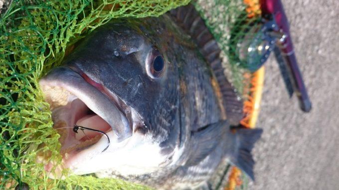 黒鯛 クロダイ チヌ
