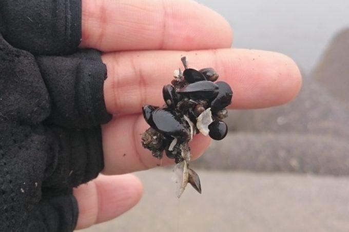 イガイの付け方 稚貝団子