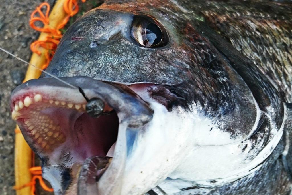 西宮ケーソンで釣った51cmの年無し黒鯛