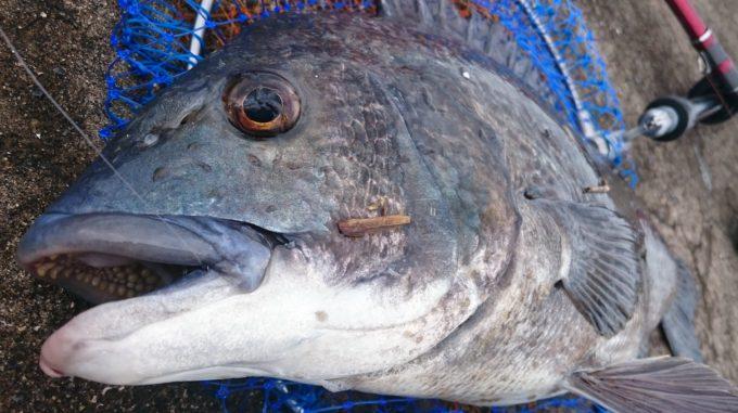 50cmの年無し黒鯛