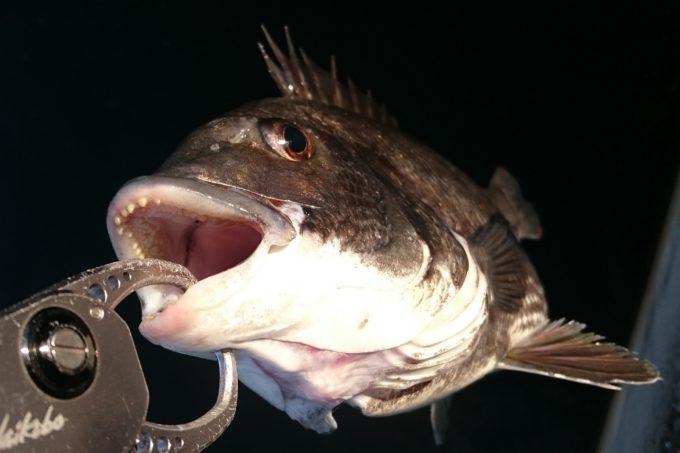 南甲子園浜東面で釣った黒鯛