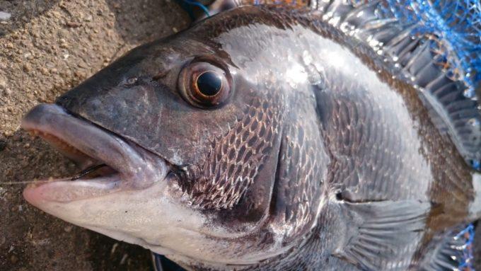 47cmの黒鯛(チヌ)