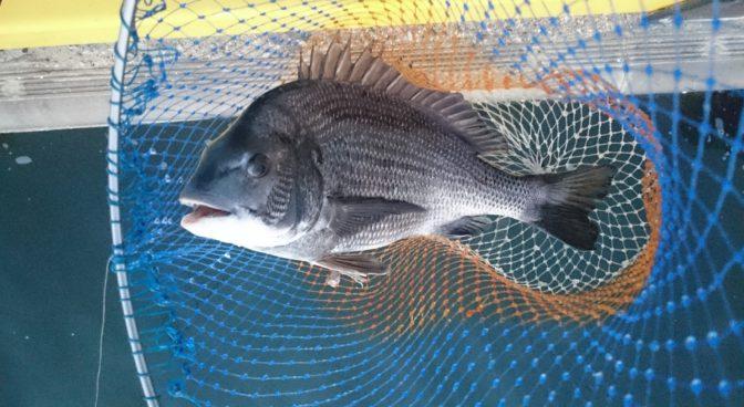49cmの黒鯛(チヌ)