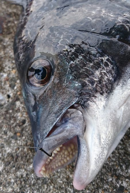 48cm 黒鯛(チヌ)