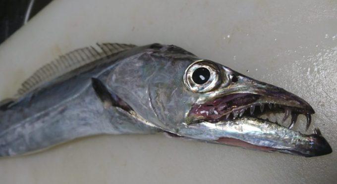 太刀魚 タチウオ