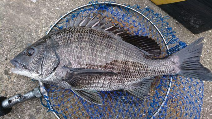 旧岡山港 黒鯛(チヌ)