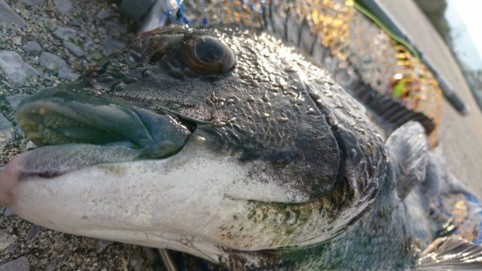 尼崎湾奥テトラ 黒鯛(チヌ)