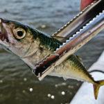 小サバ爆釣!南芦屋浜ベランダでサビキ釣りを楽しんできました!