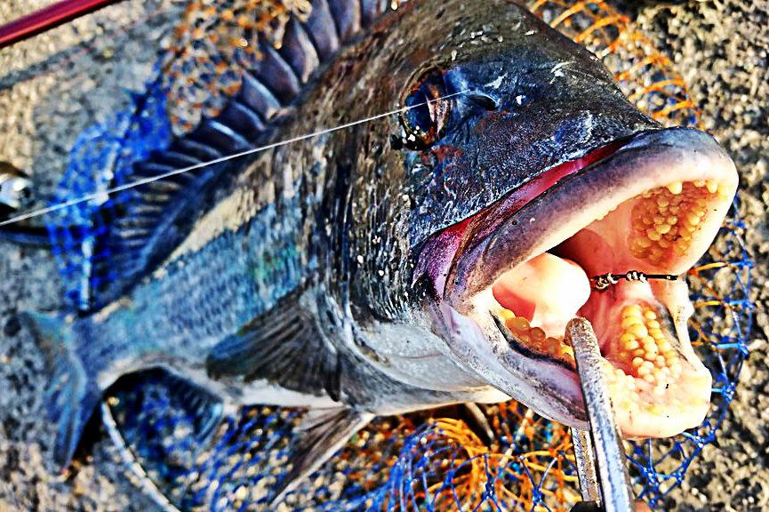 徳島 黒鯛(チヌ)