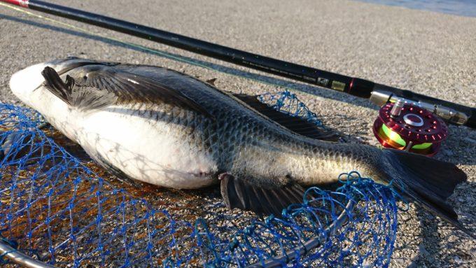 ベストフッキング 黒鯛 47cm