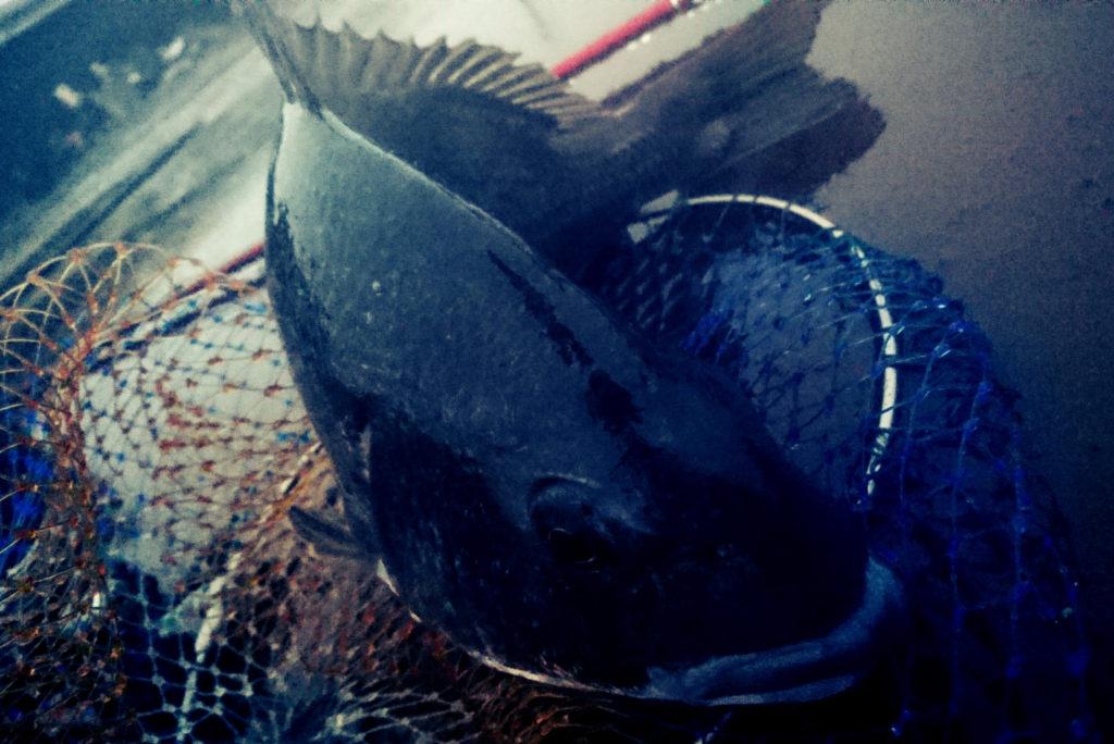 黒鯛(チヌ)49.9cm