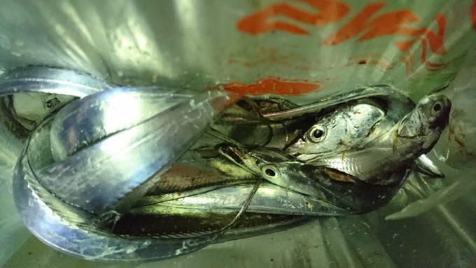 太刀魚(タチウオ)