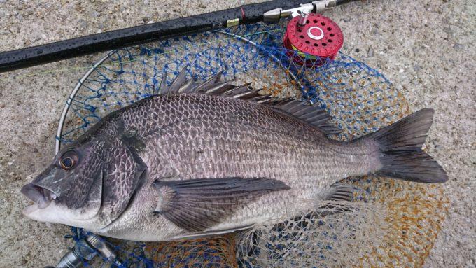 45cm 黒鯛(チヌ)
