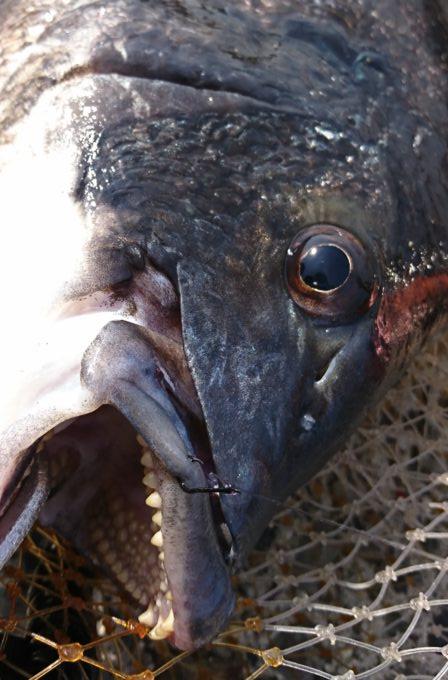 51cm 年無し黒鯛(チヌ)