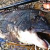 早朝テトラ前打ち!諦めない釣法で51cmの年無し黒鯛ゲット!