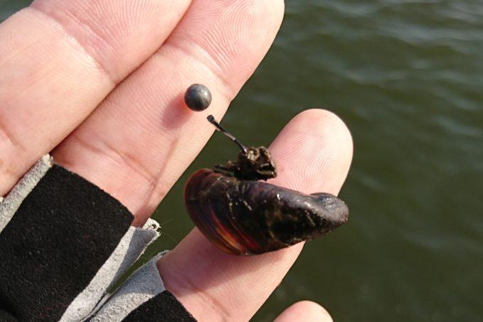 ミジ貝の付け方 繊維掛け