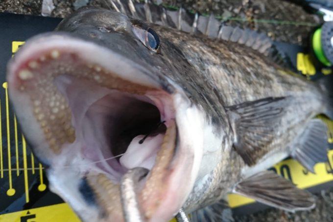 年無し黒鯛(チヌ)