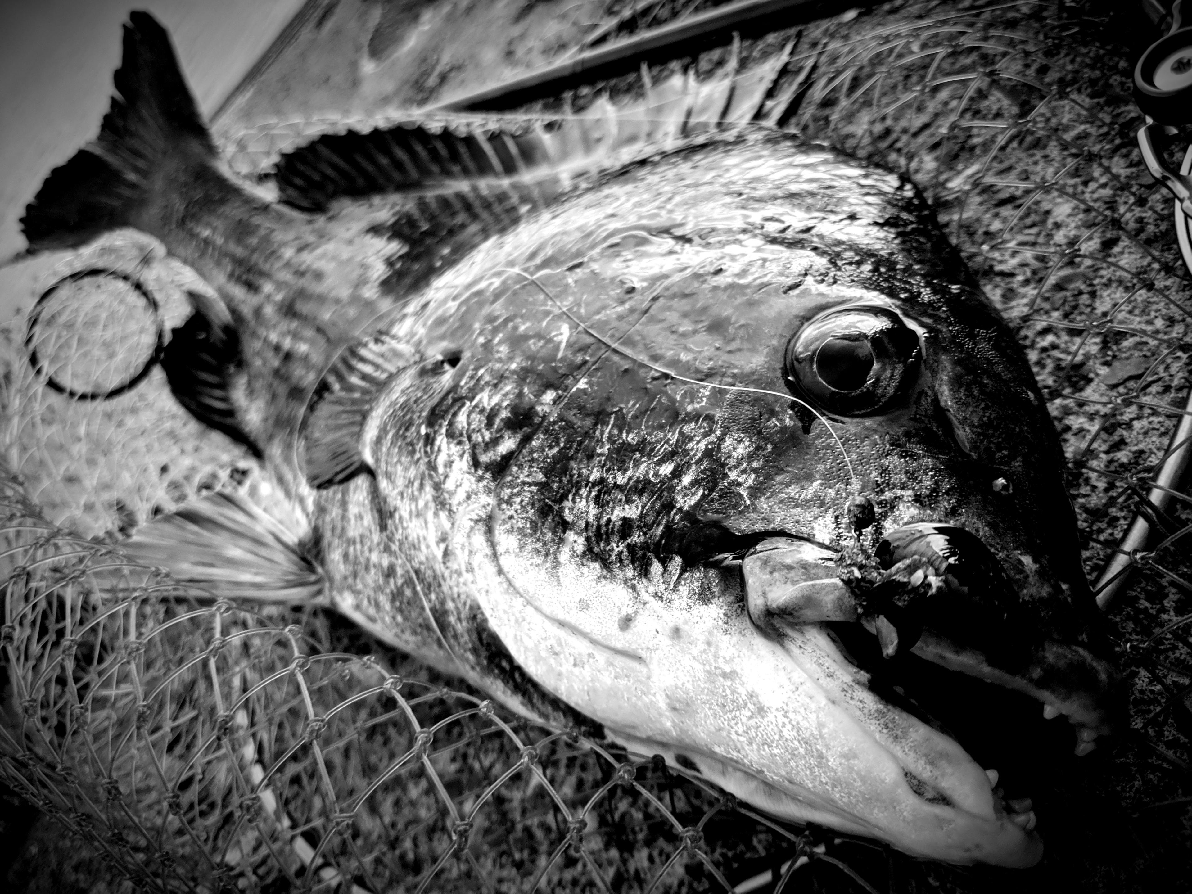 黒鯛(チヌ)