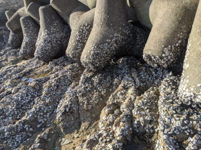テトラに付いた岩牡蠣