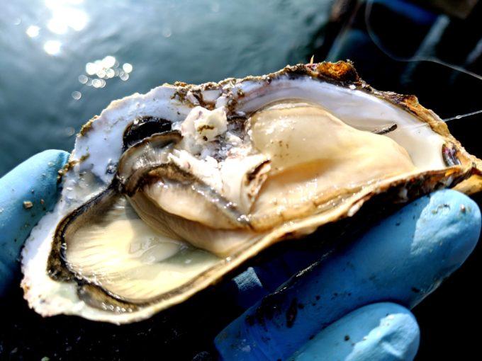 かぶせ釣り 牡蠣