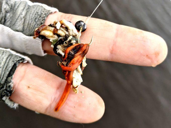 パイプ虫 エゾカサネカンザシ(蝦夷重ね簪) Hydroides ezoensis
