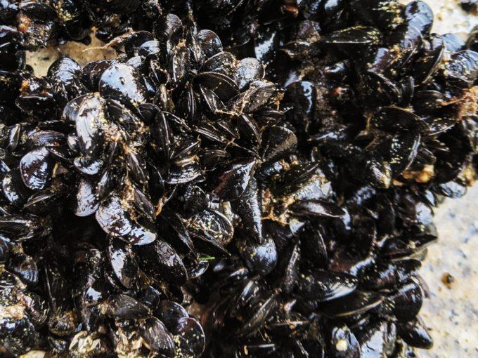イガイ カラス貝